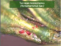 тисовая плоскотелка