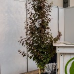 Новинка Prunus 'Crimson Pointe'