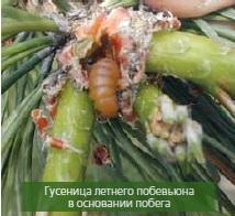 гусеница_побеговьюны
